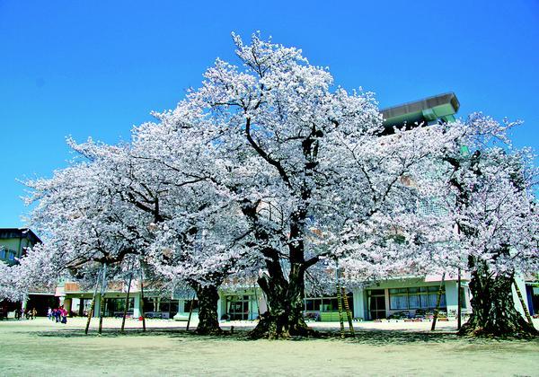 真鍋の桜 image