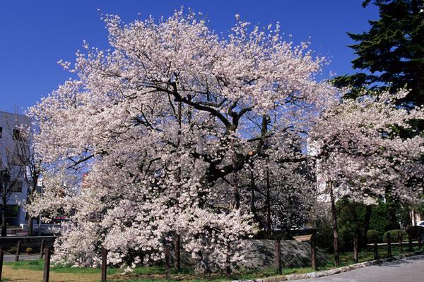 石割桜 image