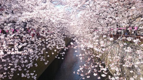 目黒川の桜並木 image