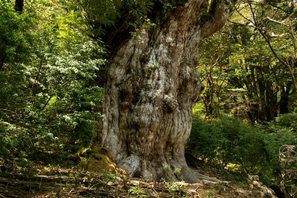 縄文杉 image
