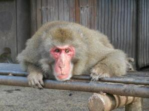 銚子渓自然動物園 お猿の国 image