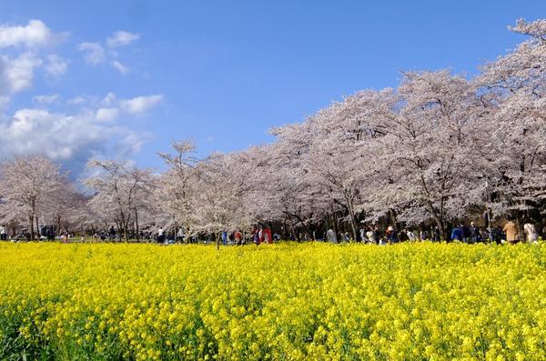 赤城南面千本桜 image