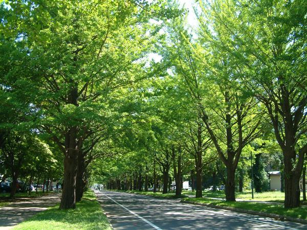 홋카이도대학 은행나무길 image