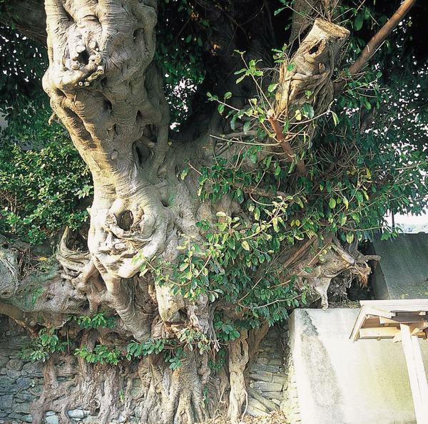 용나무 image