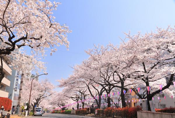 하리마자카의 벚꽃길 image