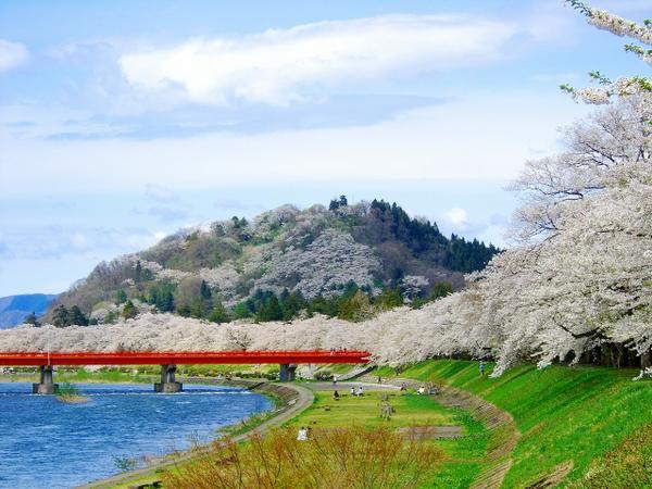 桧木内川堤(サクラ) image