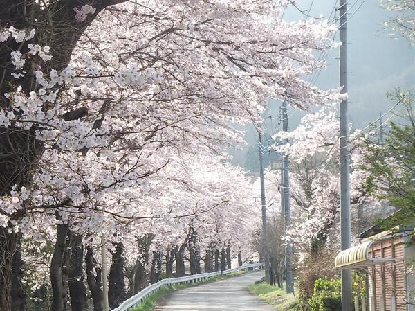 長瀞の桜並木 image