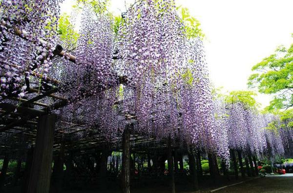 藤花園(牛島の藤) image
