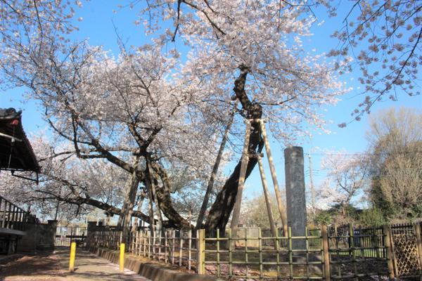 이시토카바 벚꽃 image