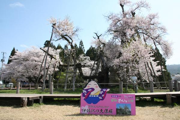이사자와 구보자쿠라 벚나무 image