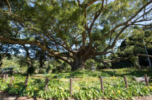 川棚のクスの森 image