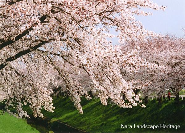 佐保川の桜並木(奈良県景観資産) image