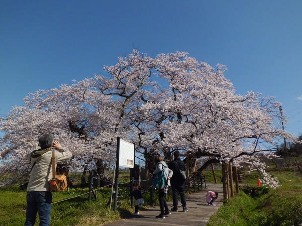 石部桜 image