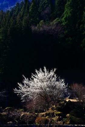 梅の里川売 image
