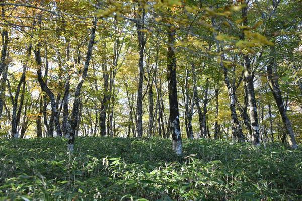 ブナの原生林 image