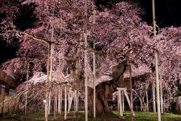 般若院の枝垂桜 image