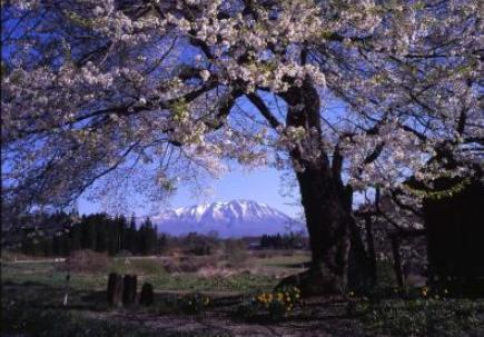ต้นโคโบซากุระแห่งนานะสึดะ image