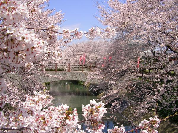 นากาสุงาวะ-เซ็มบนซากุระ (ทิวต้นซากุระริมแม่น้ำนากาสุงาวะ) image