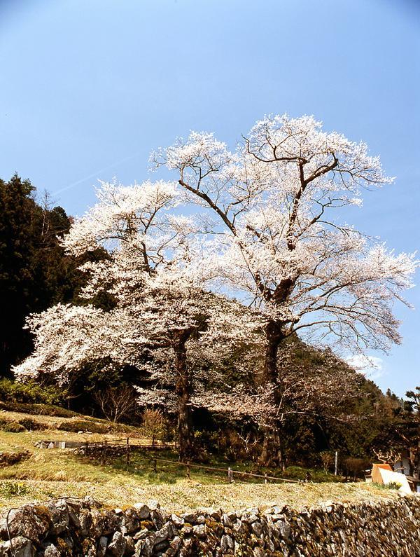นาวาชิโระซากุระ image