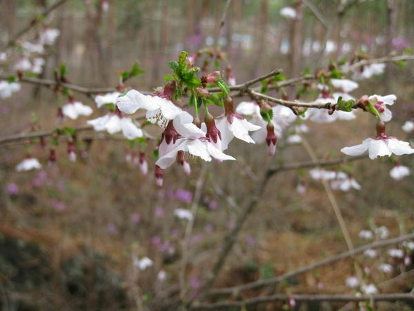 나시가하라의 좀벚나무 image