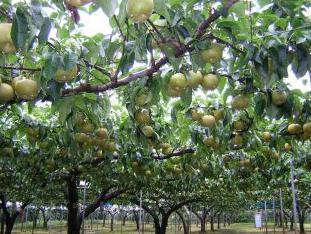 加賀谷果樹園 image