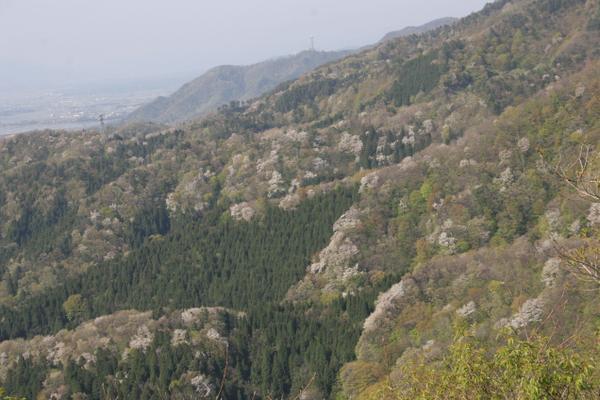 大峰山橡平サクラ樹林 image
