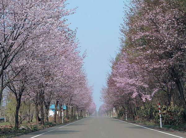 세계 최장 벚꽃길 image