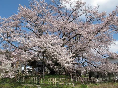 素桜神社の神代桜 image