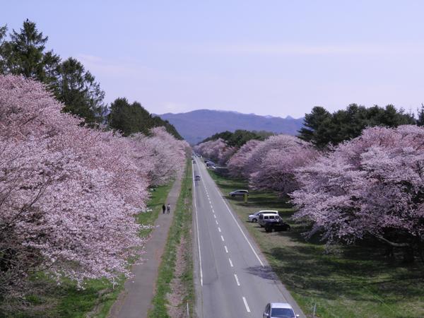 二十間道路桜並木 image