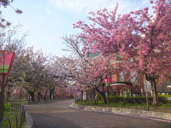 造幣局 桜の通り抜け image