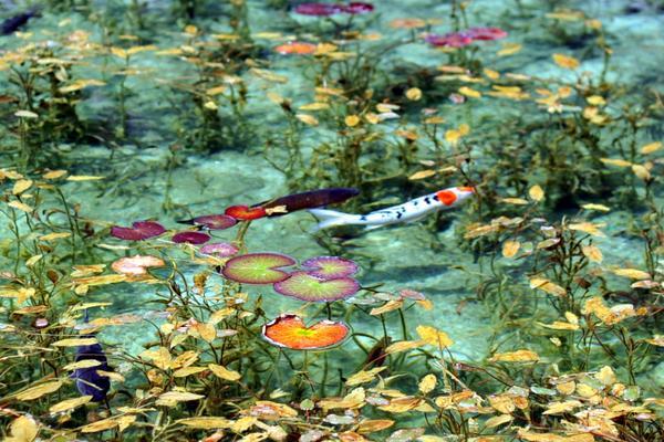 名もなき池(通称 モネの池) image
