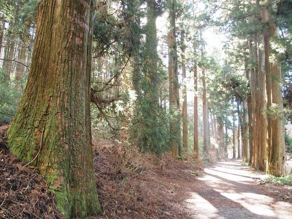 箱根旧街道杉並木 image