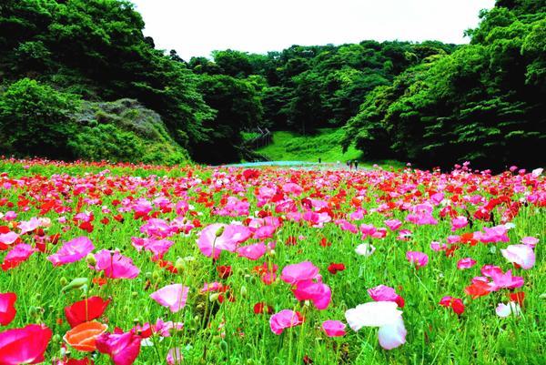 Kurihama花之國 image