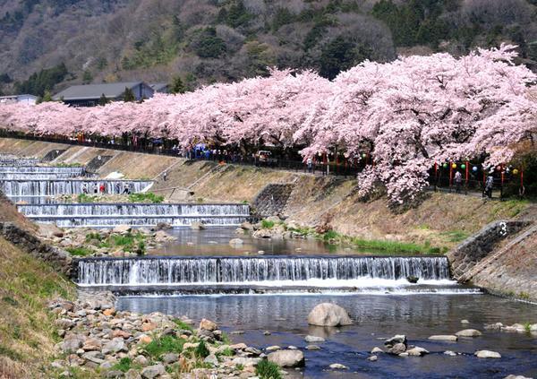 하야카와 강둑의 벚꽃 image