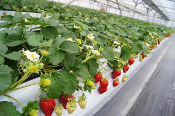 片野草莓園 image