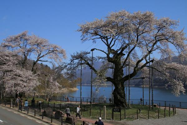 荘川桜 image