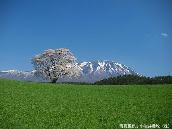 ต้นซากุระเดียวดายแห่งโคอิวะอิฟาร์ม image
