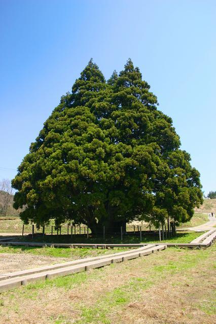 小杉の大杉(トトロの木) image