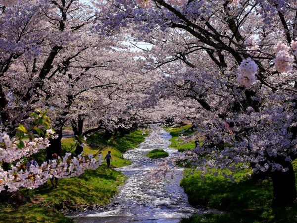 観音寺川の桜並木 image