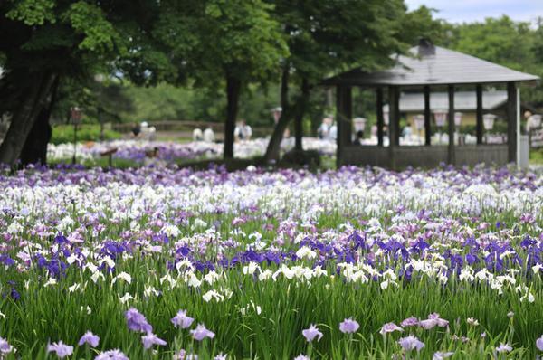 長井あやめ公園 image