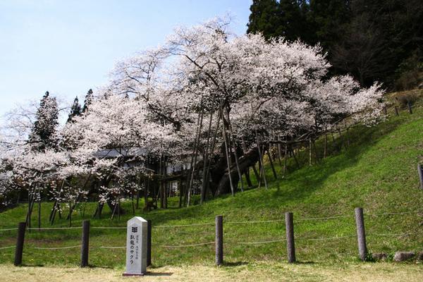 臥龍桜 image