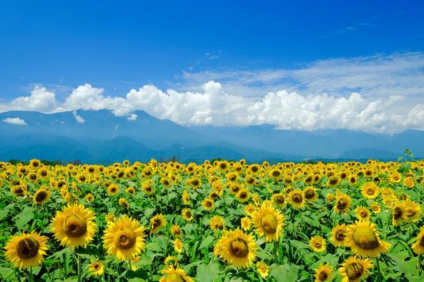 Akeno Sunflower Field image