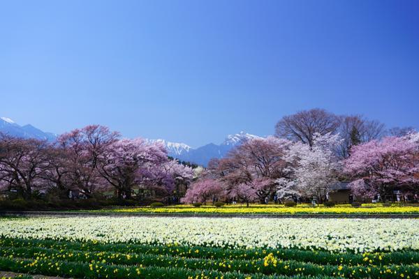 야마타카 진다이자쿠라 벚나무 image