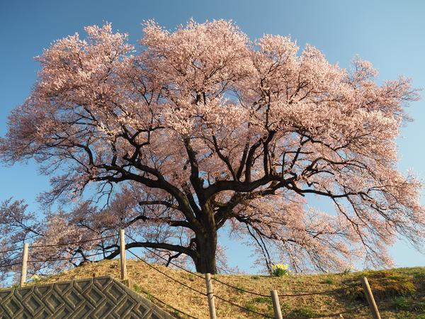 와니즈카의 벚꽃 image