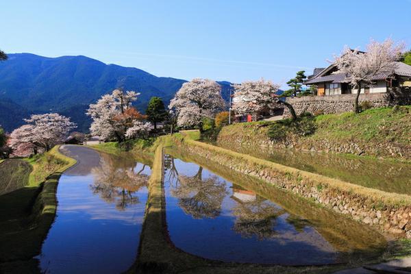 三多気の桜 image