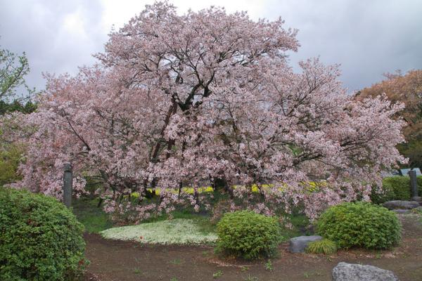가리야도의 게바 벚꽃 image
