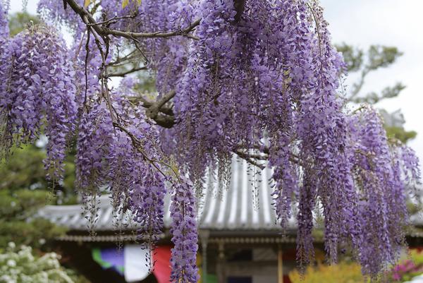 子安地蔵寺の藤 image