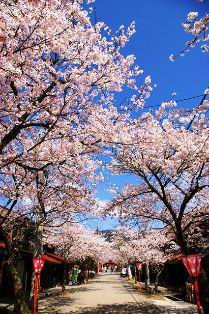 がいせん桜 image