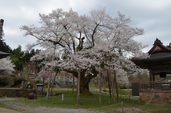明日の大桜 image