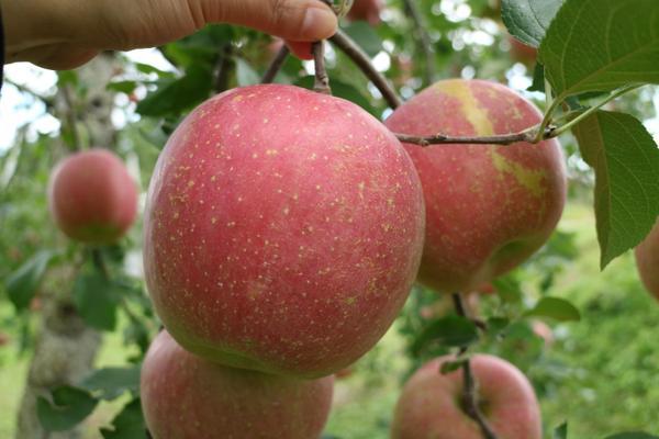 시시도 사과 농장 image